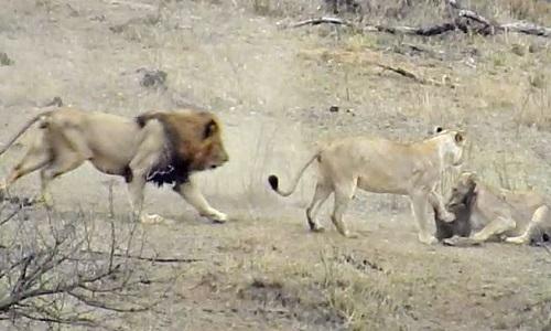 Tham tranh mồi, sư tử đực cứu lớn lòi thoát chết