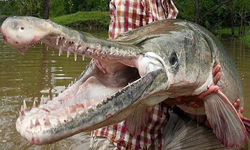 Cá láng lớn - thủy quái mõm dài trên sông Bắc Mỹ