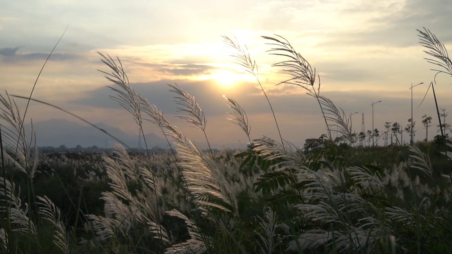 Cánh đồng cỏ lau trắng ở Quảng Ngãi thu hút giới trẻ chụp ảnh