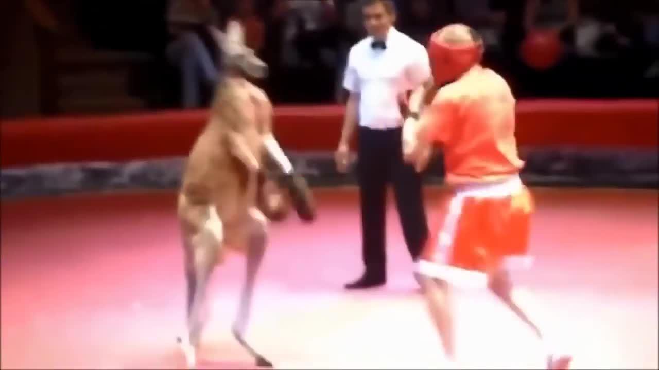 Trận đấu kinh điển giữa võ sĩ boxing và Kangaroo