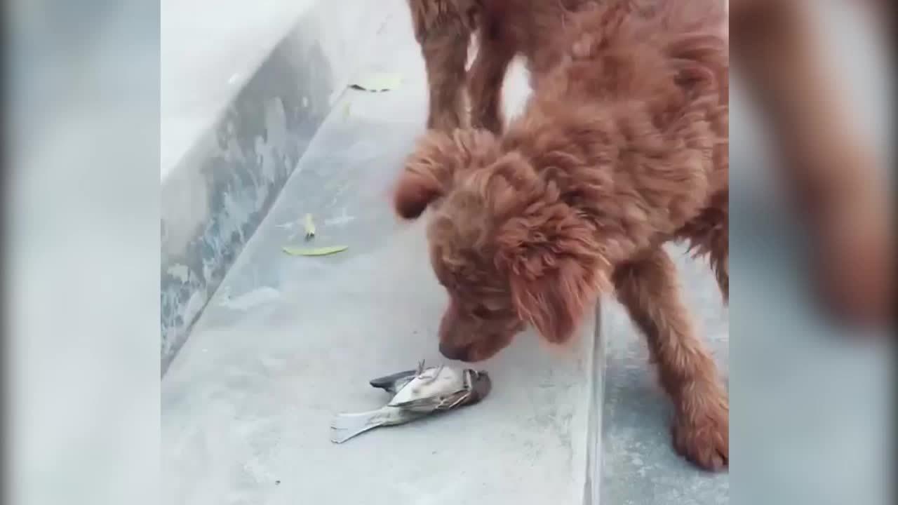 Cún cưng nổi cáu vì mắc bẫy chim trời