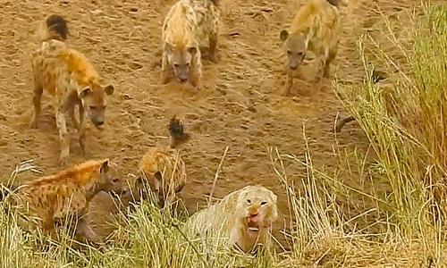 Bị bầy linh cẩu bao vây, sư tử gọi đồng loại tới cứu