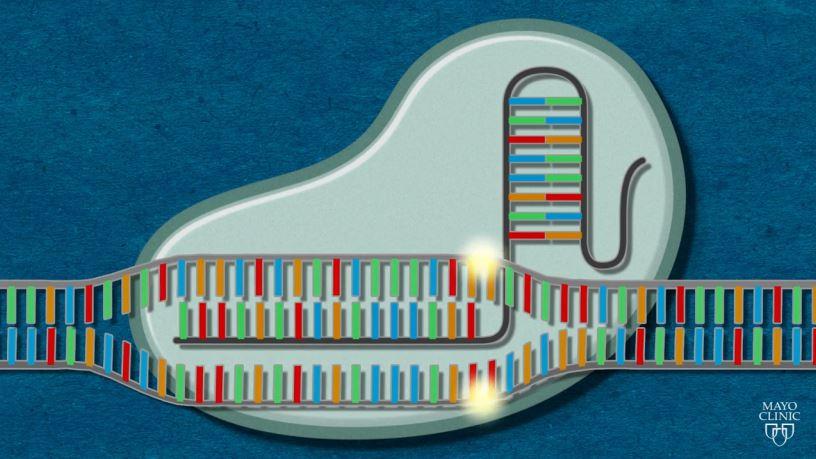 Μηχανισμός δράσης του εργαλείου επεξεργασίας γονιδίων CRISPR-Cas9