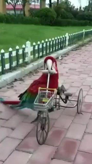 Vẹt trổ tài đạp xe đẳng cấp