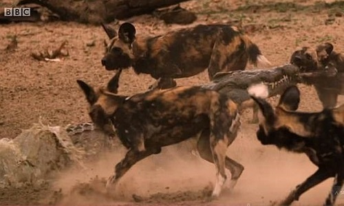 Bầy chó hoang bất lực nhìn linh cẩu và cá sấu xé xác con