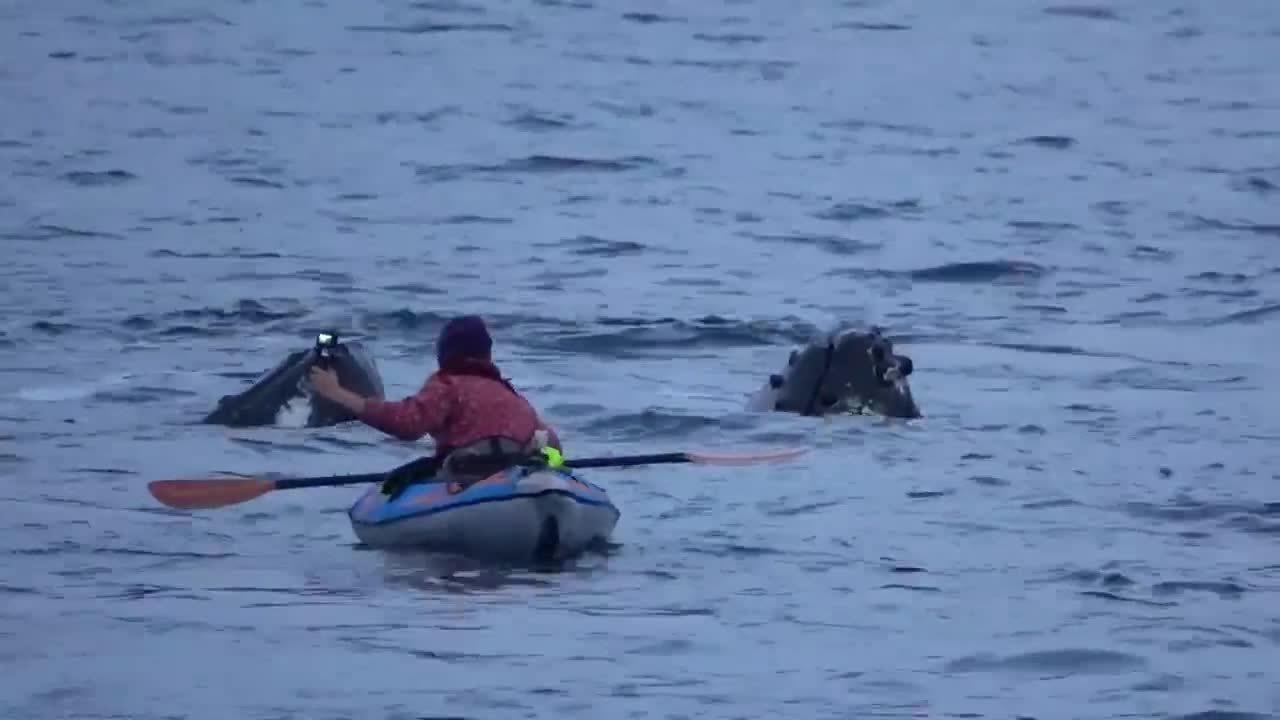 Đàn cá voi lưng gù áp sát người chèo thuyền ở Na Uy