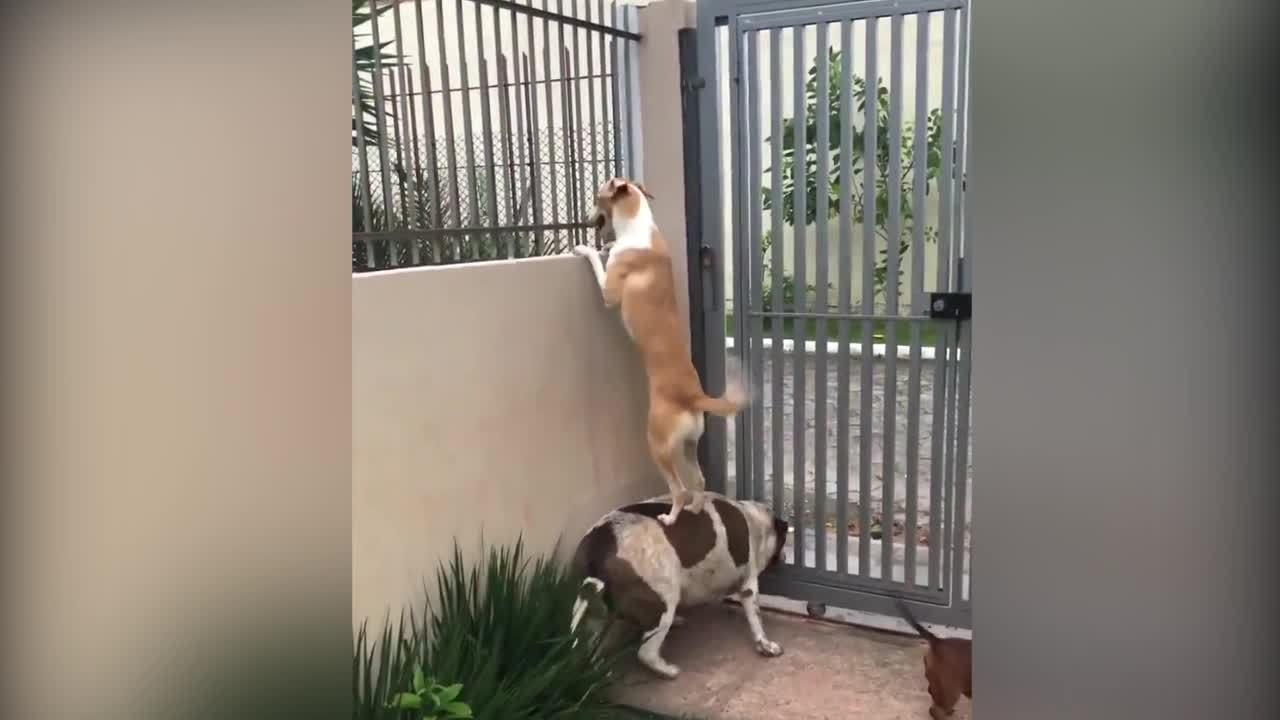 Khi cún cưng thể hiện khả năng teamwork