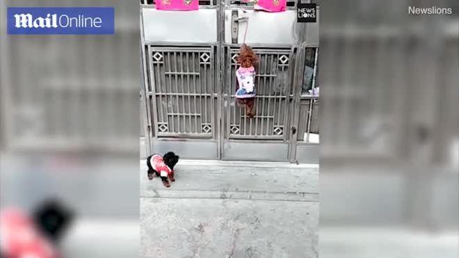 Chú chó mở cửa tài tình cho bạn vào chơi nhà