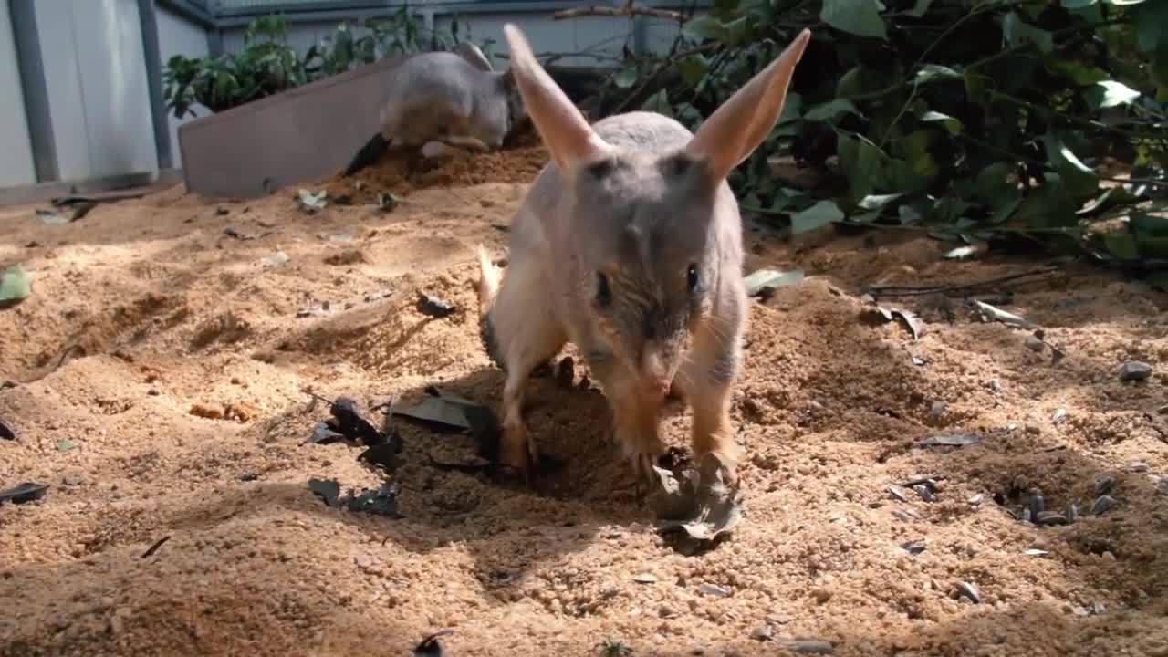 Loài chuột có túi giống con lai giữa thỏ và kangaroo