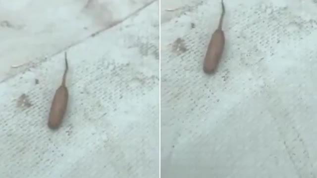 Sinh vật mình tròn đuôi dài xuất hiện dưới hồ nước Australia
