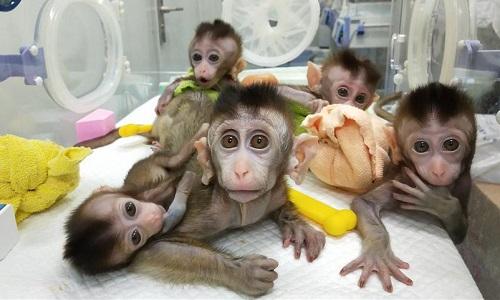Trung Quốc nhân bản 5 con khỉ đột biến gene