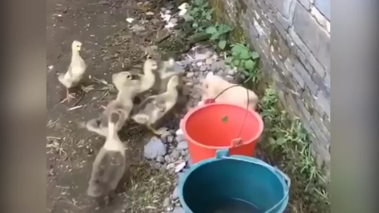 Cún con khổ sở vì bị đàn vịt tấn công