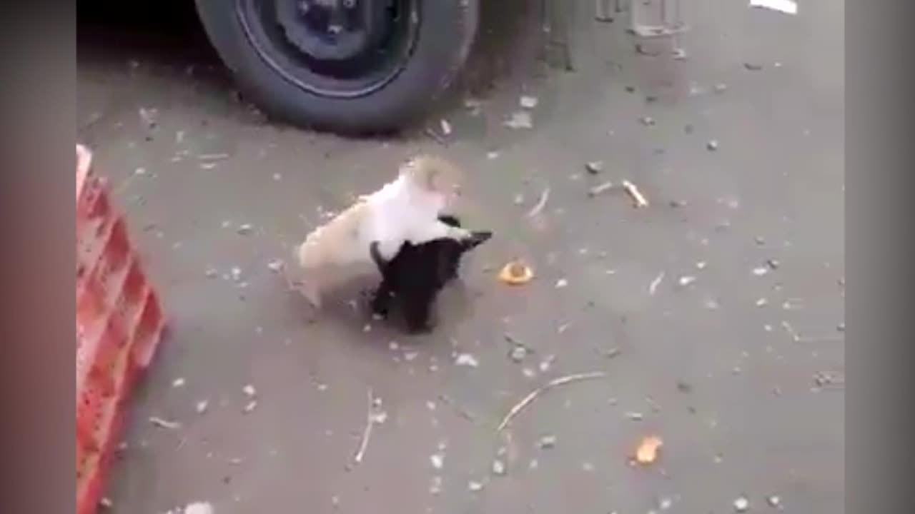 Lợn con đại chiến cún cưng tranh đoạt linh vật của năm