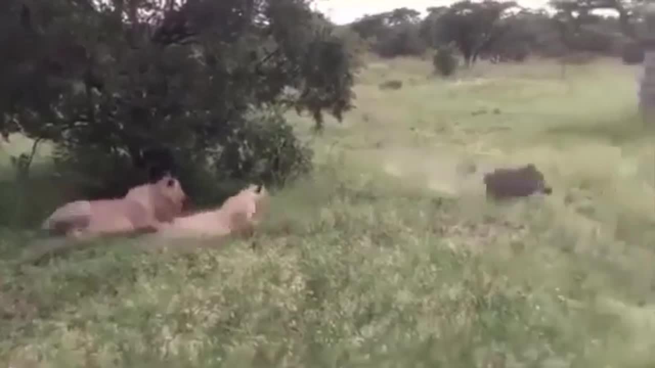 Lợn rừng tá hỏa vì chạy nhầm vào đàn sư tử