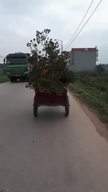 Cây quất trĩu quả rụng gần hết vì chở bằng xe ba gác
