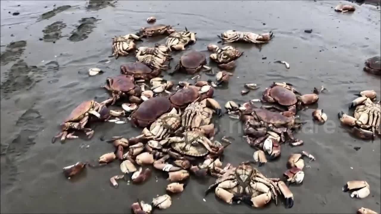 Hơn 200 con cua chết chưa rõ nguyên nhân ở bờ sông Anh