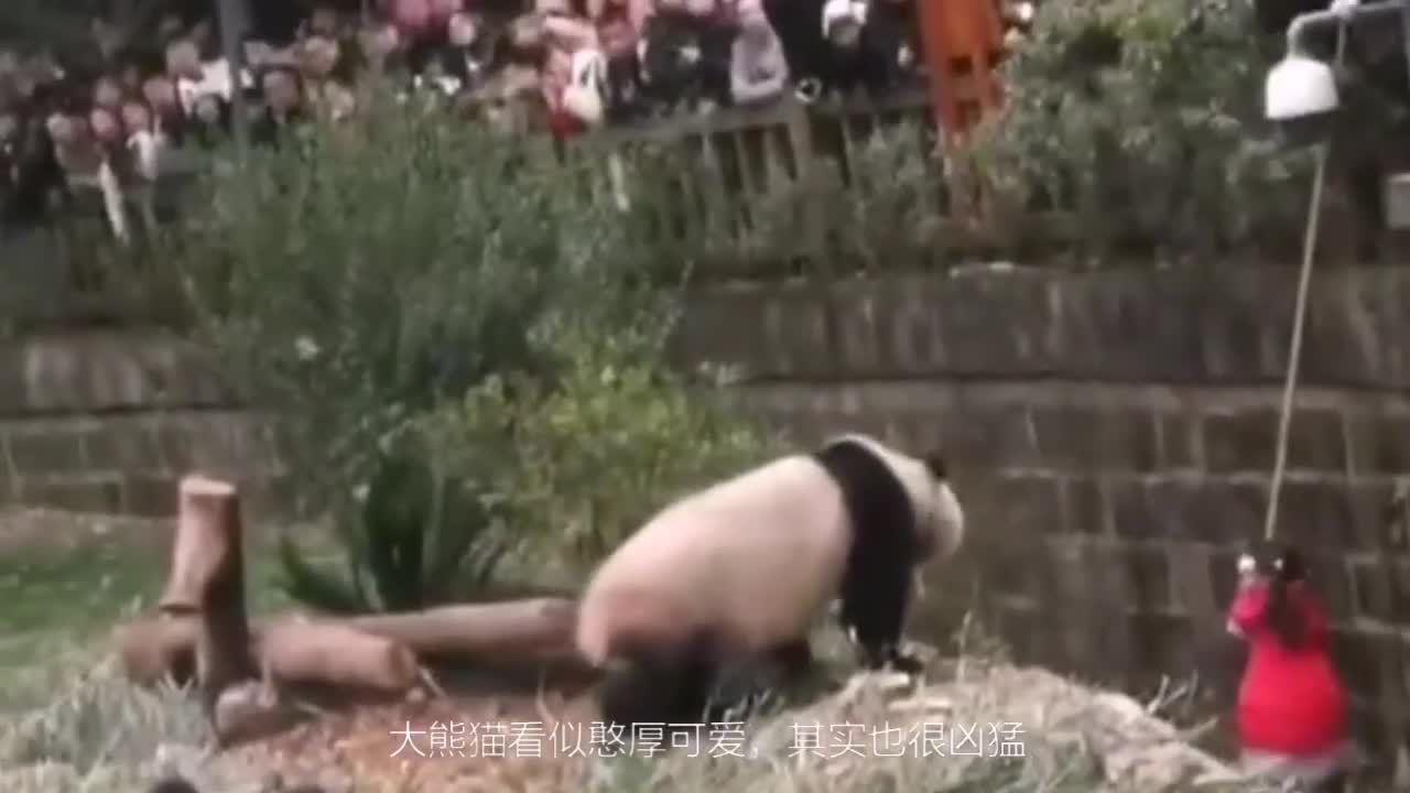 Bé gái Trung Quốc được giải cứu sau khi rơi vào chuồng gấu trúc