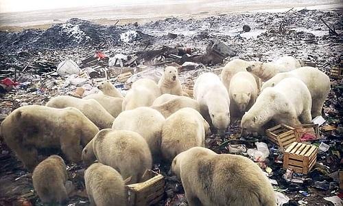 Đàn gấu Bắc Cực hơn 50 con xâm lược quần đảo Nga