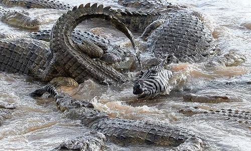Ngựa vằn bị 40 con cá sấu xé xác trên khúc sông tử thần
