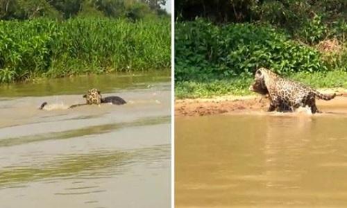 Báo đốm ổn mình đoạt mạng cá sấu caiman trên sông