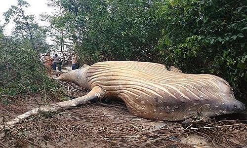 Xác cá voi 10 tấn trong rừng Amazon khiến chuyên gia bối rối