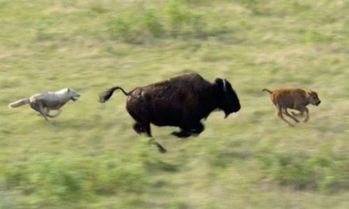 Bò rừng mẹ ngăn bầy sói đói ăn thịt con