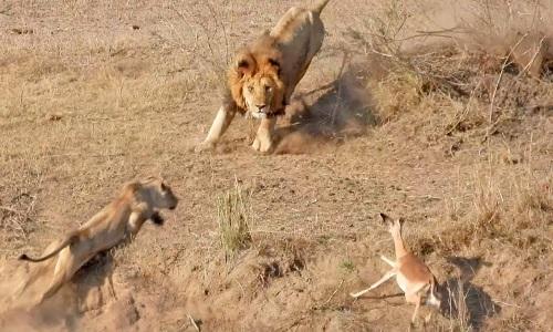 Mải đuổi linh dương, sư tử đực húc thẳng vào sư tử cái