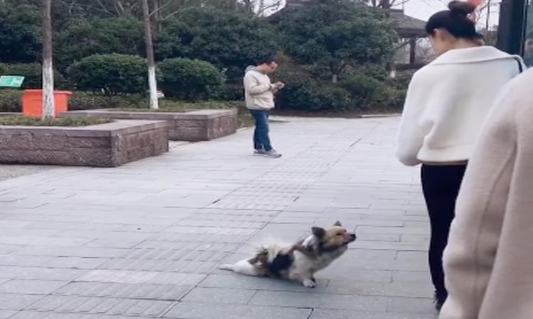 Chó giả tàn tật, lê lết xin ăn trên phố