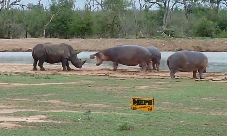 Tê giác chạy té khói vì bắt nạt 'quý tử' nhà hà mã