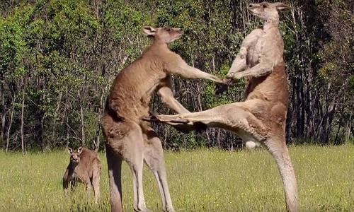 Kangaroo - vận động viên cừ khôi trong thế giới động vật