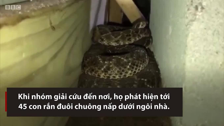 Ổ rắn đuôi chuông 45 con trốn dưới nhà dân Mỹ