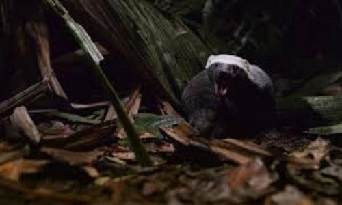 Chồn quay đầu trốn vội vào rừng khi ngửi mùi hôi trên da ếch
