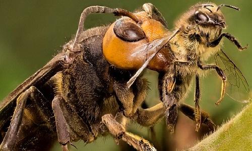 Sát thủ ong mặt quỷ chuyên nhào xuống bắt mồi như chim ưng