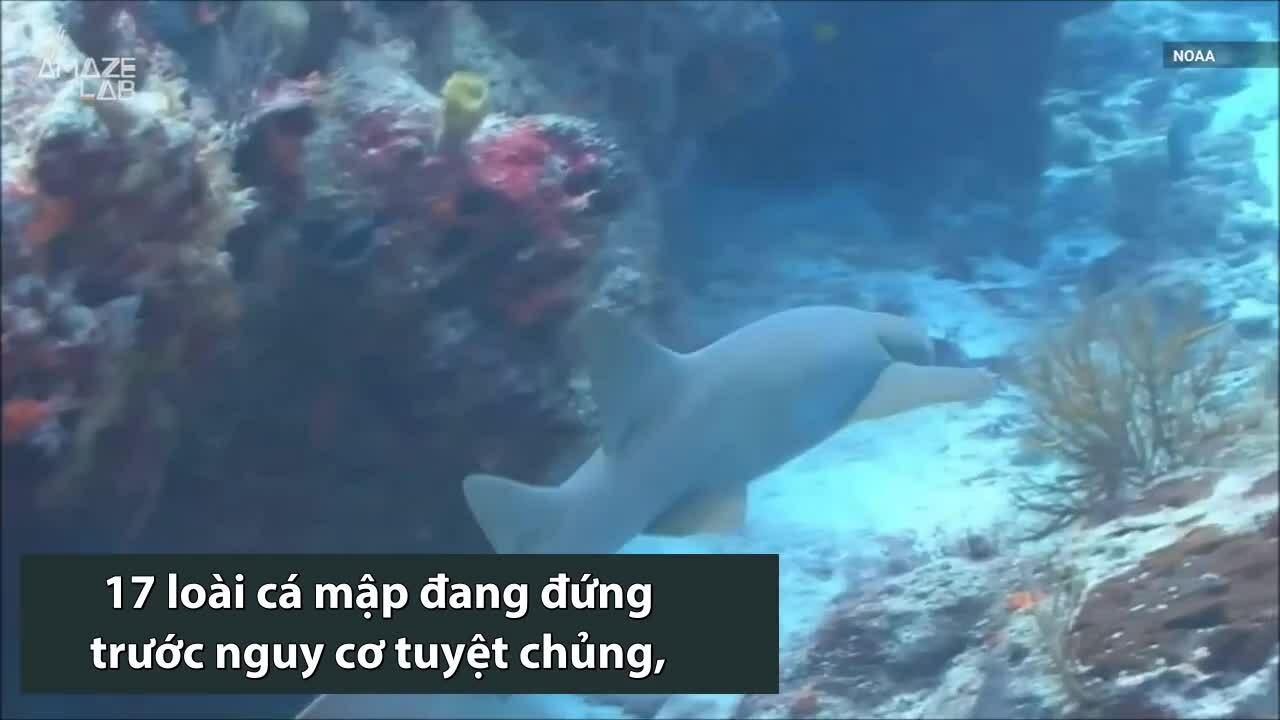 Loài cá mập nhanh nhất thế giới sắp tuyệt chủng
