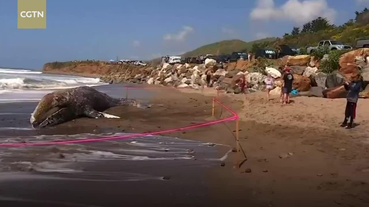 Xác cá voi xám dài 12 m dạt vào bãi biển Mỹ
