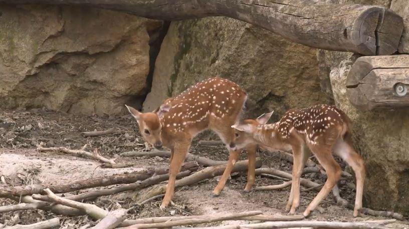 Hươu sao Việt Nam tuyệt chủng ngoài tự nhiên chào đời ở sở thú Áo