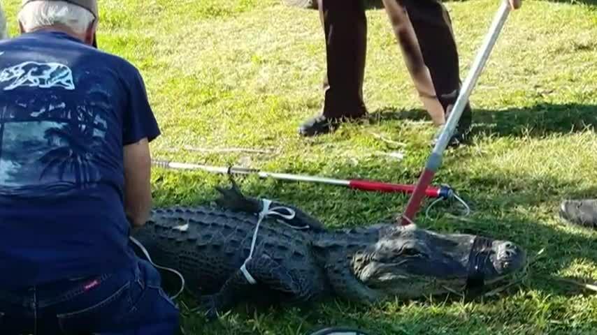 Cụ ông 80 tuổi liều mình bắt cá sấu dài 2 m