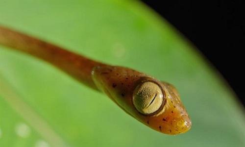 Loài rắn có mắt to bằng 1/3 đầu