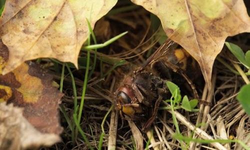 Số phận thê thảm của ong bắp cày chúa khi xong nhiệm vụ