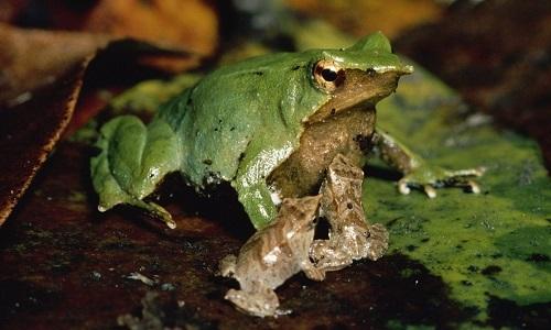 Ếch bố ấp trứng và nuôi con trong bụng thay ếch mẹ