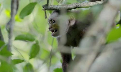 Khỉ con mắc kẹt trong cuộc kịch chiến giữa hai thủ lĩnh đầu đàn