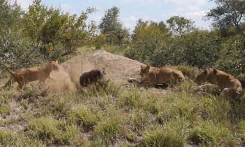 Lợn bướu chạy nước rút trốn thoát 7 con sư tử
