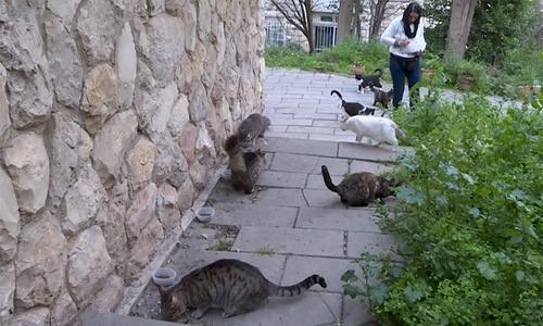 Jerusalem chật vật tìm cách giải quyết đàn mèo hoang 240.000 con