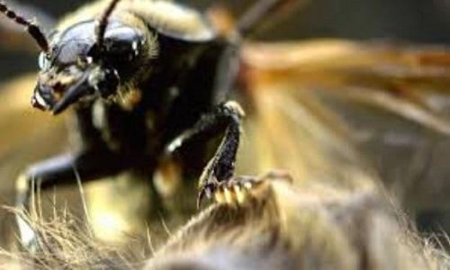 Loài bọ chôn xác chuột lớn gấp 150 lần làm quà tặng bạn tình