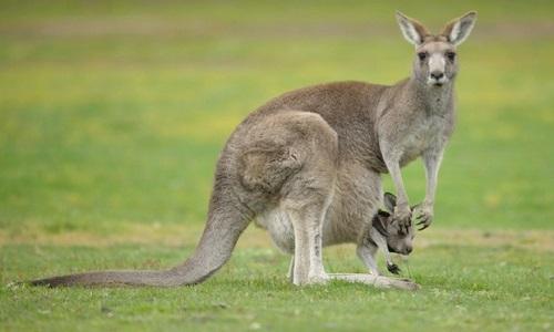 Tại sao kangaroo cái có thể mang thai và sinh con liên tục?