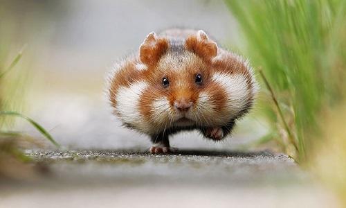 Bảo vệ chuột hamster - vấn đề gây tranh cãi ở Pháp