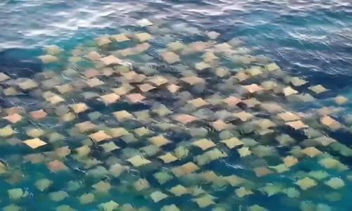 Đàn cá đuôi hàng trăm con bơi sát mặt biển ở Australia