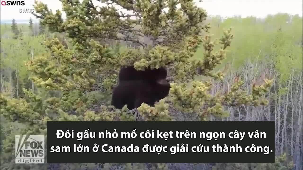 Giải cứu đôi gấu con trên ngọn cây cao 21 m