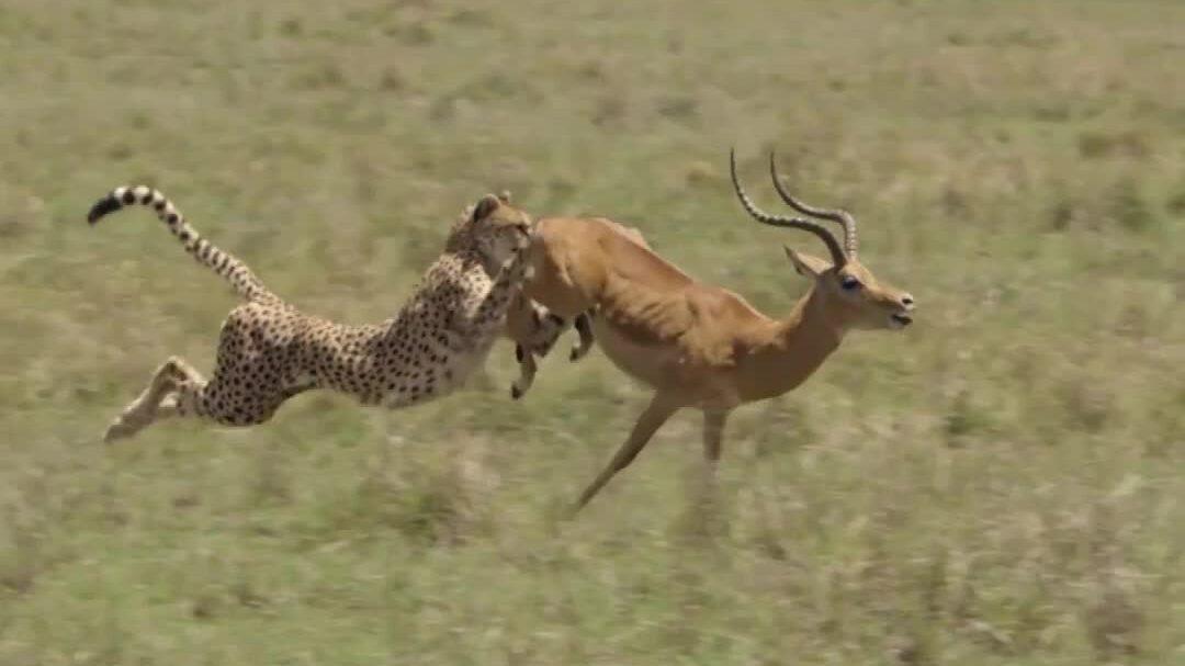 Nhát cắn chí mạng hạ gục linh dương sừng cao của báo săn