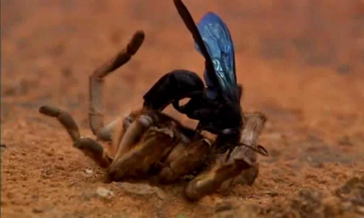 Ong bắp cày ký sinh kết liễu nhện khổng lồ từ bên trong
